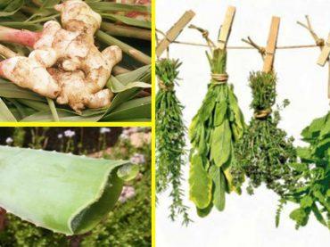 Plantas medicinales imprescindibles en casa