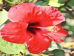 ¿Sabes qué es la Flor de Jamaica? Conoce Todas sus Propiedades para la Salud